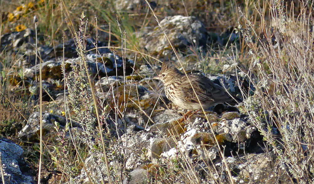 Crested/Thekla Lark - Sepulveda, 16 Apr 19 - not sure which!