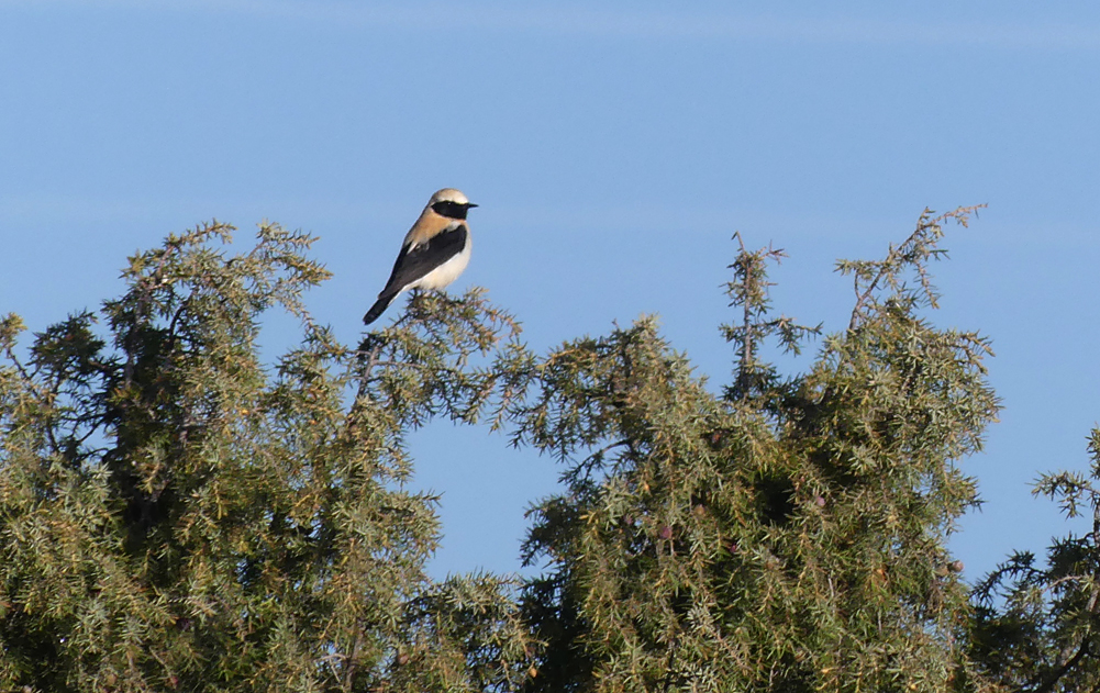 Black-eared Wheatear - Sepulveda, 16 Apr 19