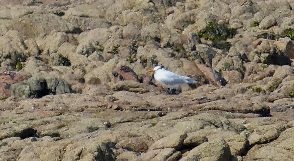 Royal Tern - Grandes Rocques, 22 Apr 19