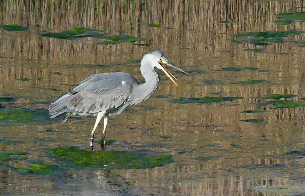 Grey Heron - Pulias, 3 May 19