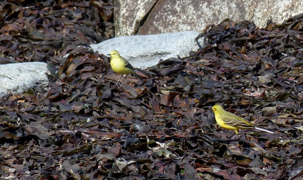 Yellow Wagtails - Pulias, 3 May 19