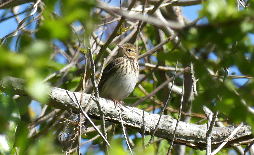 Tree Pipit - Grand Pre, 5 May 19