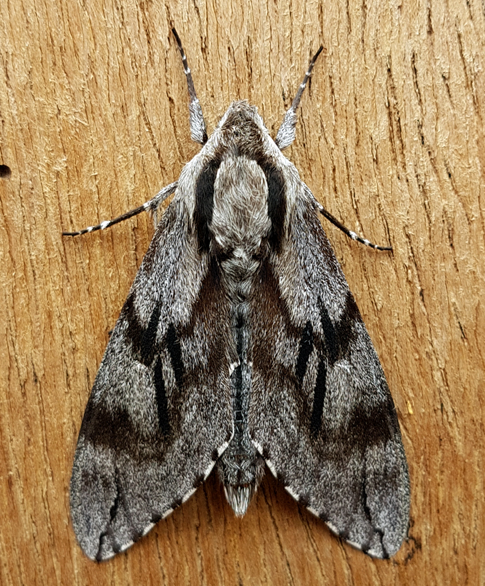 Pine Hawk-moth - garden, 1 Jun 19 - with the larger moths the camera on the phone is good enough nowadays and much more convenient for a quick snap.