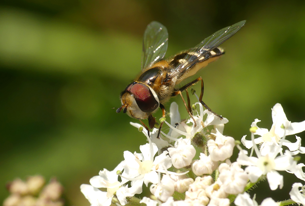 Scaeva pyrasti - Port Grat, 11 Jun 19 - hoverflies can be difficult to ID from photos, so for these species the proviso is that they may actually be a similar-looking species than the label says.