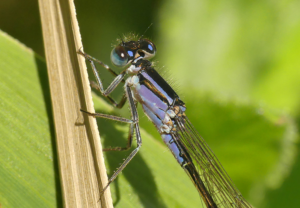 Blue-tailed Damselfly - Grand Pre, 22 Jun 19 - presumably a female of the violet form