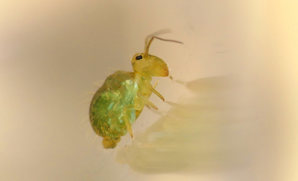 Sminthurus viridis - Garenne, 6 Jul 19 - if globular springtails were the size of a small dog, I am sure they'd be kept as cute pets.