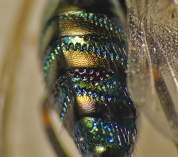Ormyrus nitidulus - above Divette, Jerbourg, 11Aug 19 - close up of abdomen to show incredible colours and sculpturing