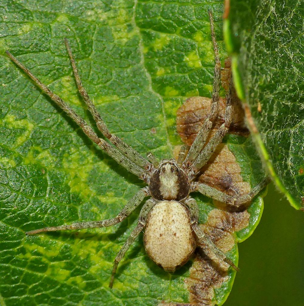 Philodromus albidus (or similar species) - Baubigny, 13 Aug 19