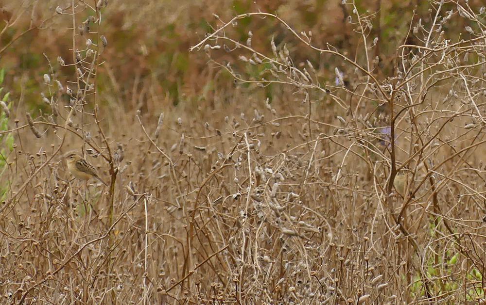 Fan-tailed Warblers - Pleinmont, 26 Aug 19