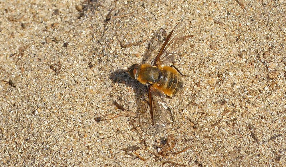 Dune Bee-fly (Villa modesta) - Pulias, 3 Sep 19