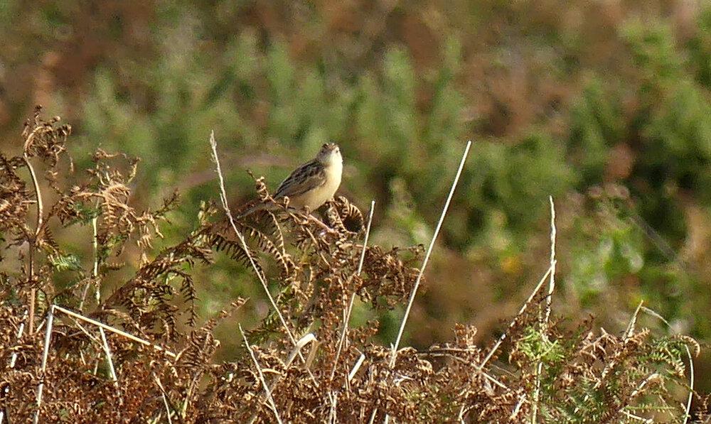 Fan-tailed Warbler - Pleinmont, 24 Aug 19