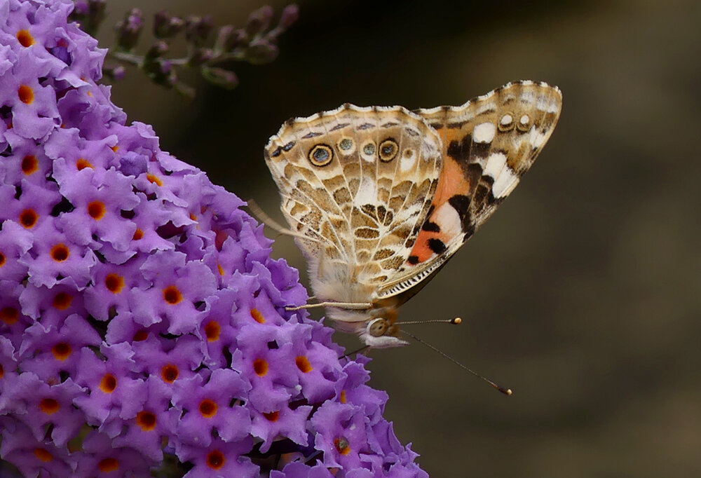 Painted Lady - garden, 28 Aug 19