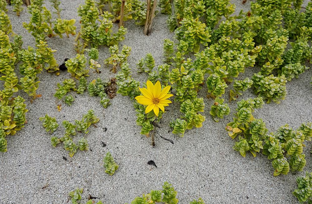 Tiny Sunflower growing through the sand on Fisherman's beach