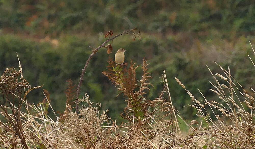 Fan-tailed Warbler - Pleinmont, 26 Aug 19