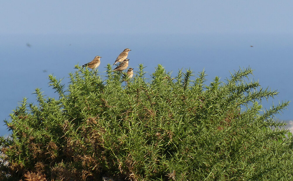 Whinchats queueing up at Mont Herault, 14 Sep 19