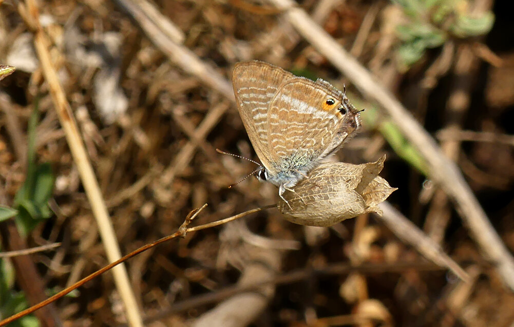 Long-tailed Blue - Jerbourg, 14 Sep 19