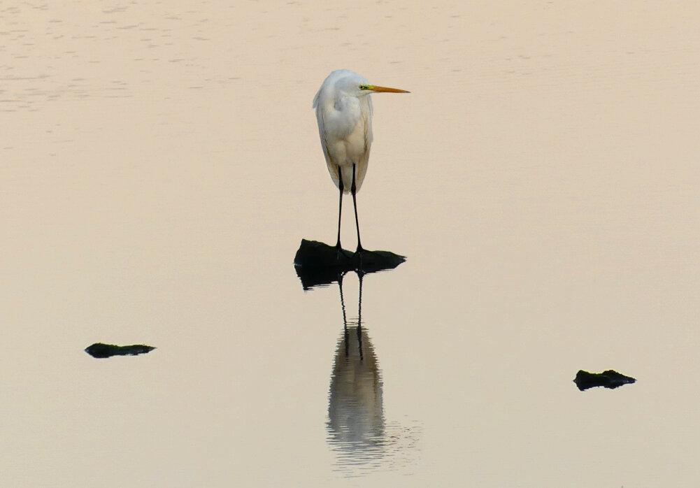 Great White Egret - Vale Pond, 15 Sep 19