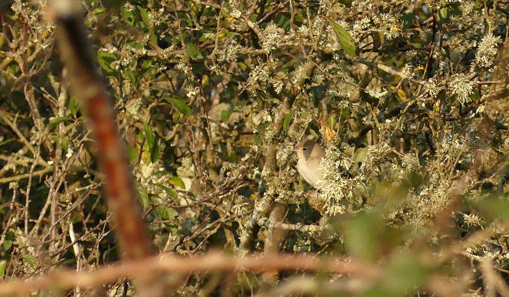 Garden Warbler - Pleinmont, 14 Sep 19