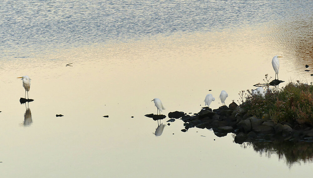 Great White Egrets - Vale Pond, 15 Sep 19