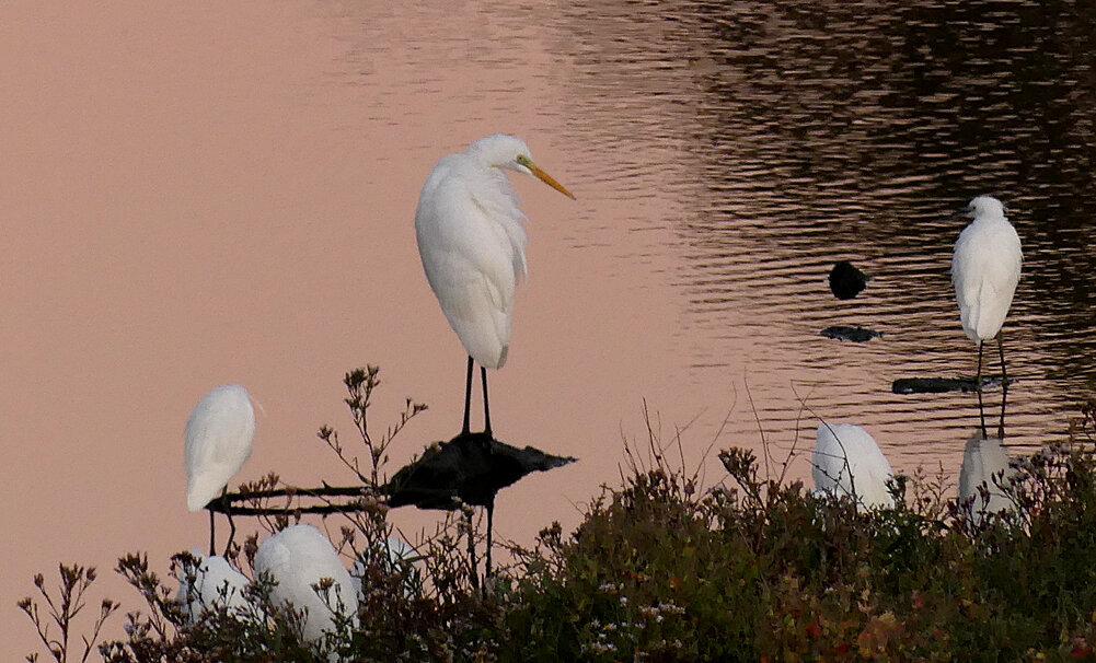 Great White Egret (second bird) - Vale Pond, 15 Sep 19