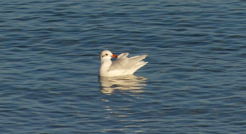 Med Gull - Cobo, 19 Sep 19