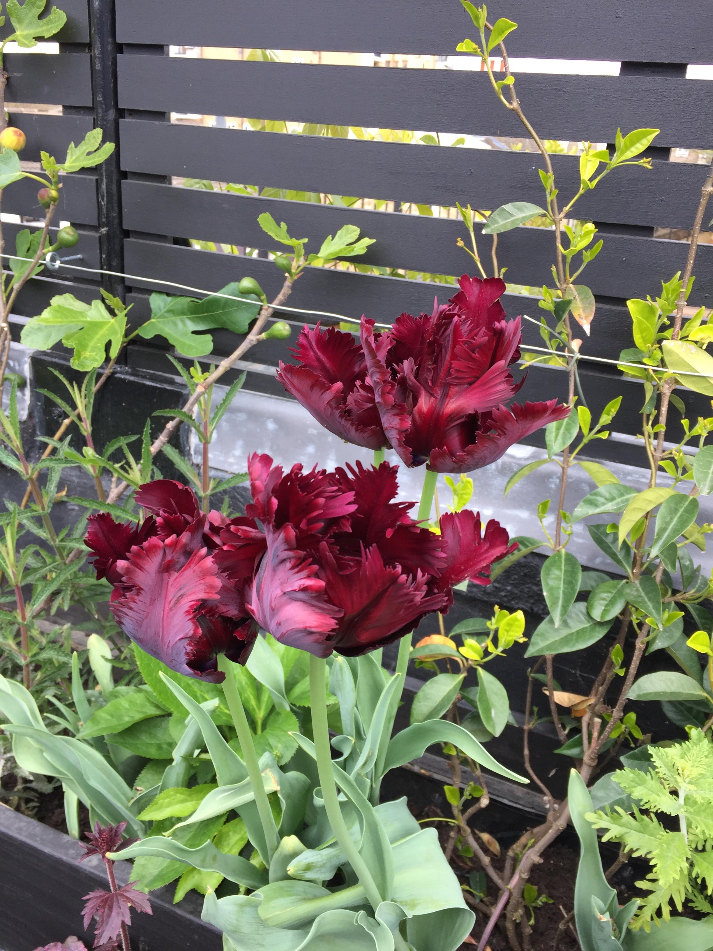 ww_plantingdetail_tulip.jpg