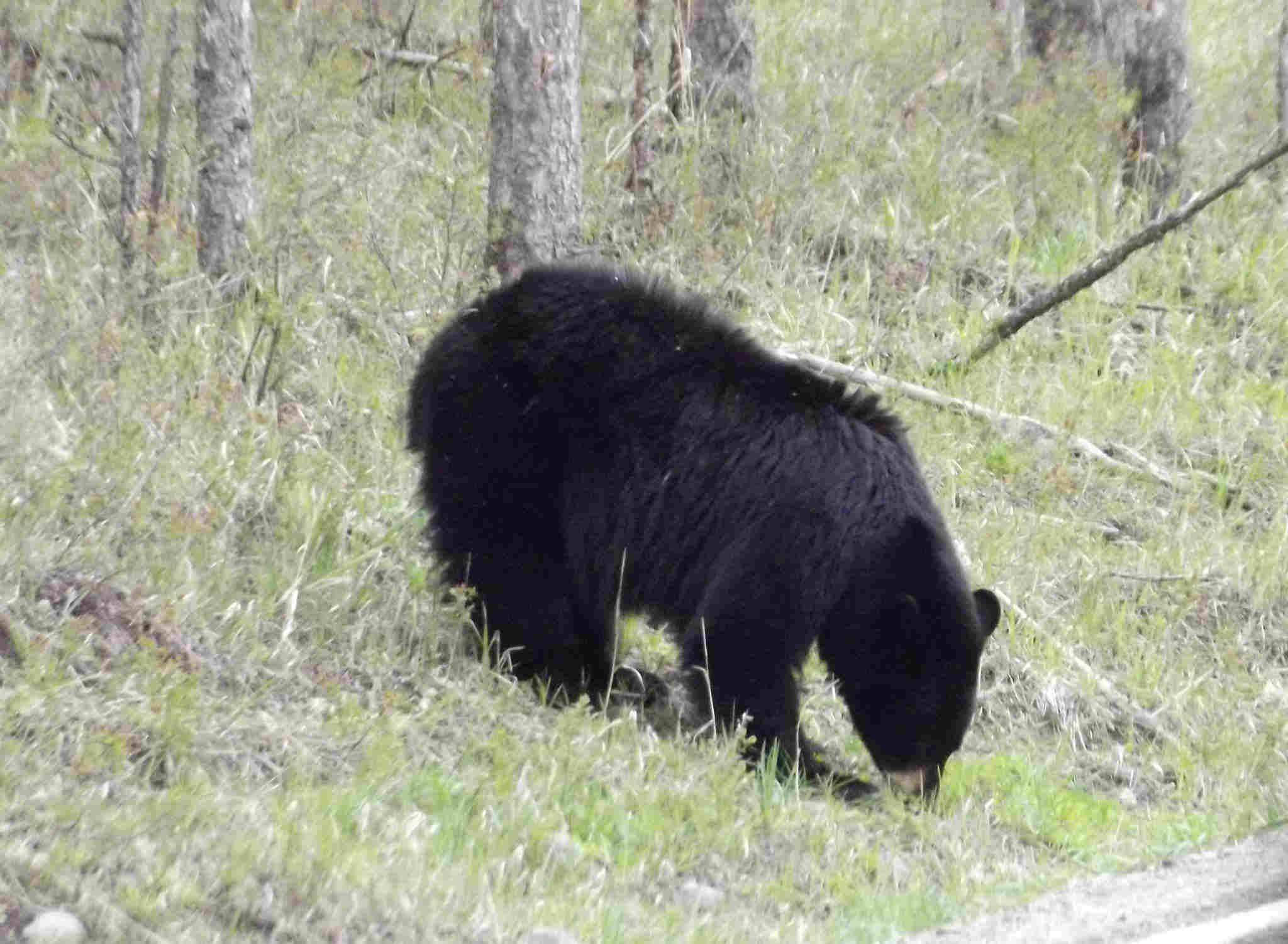 blackbearyellowstone.jpg