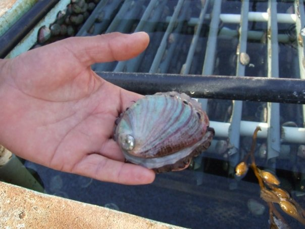 An adult abalone
