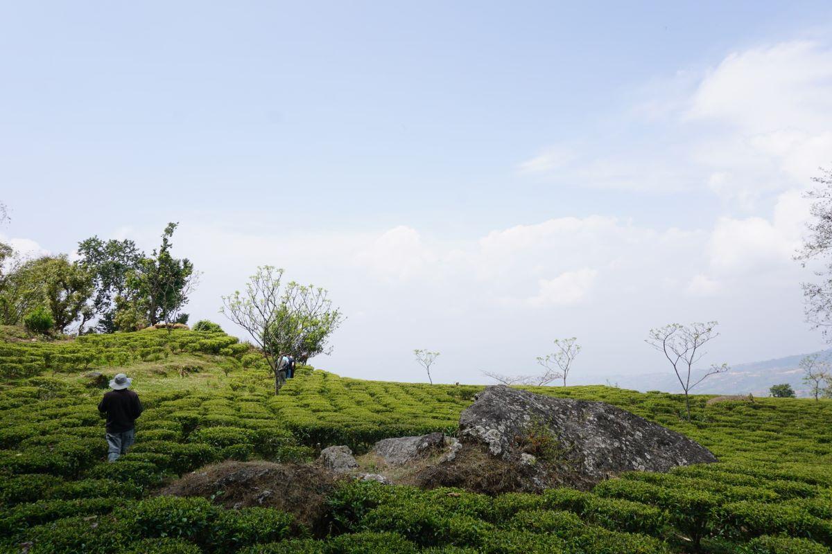 jun-chiyabari-nepal-black-tea-field.jpg