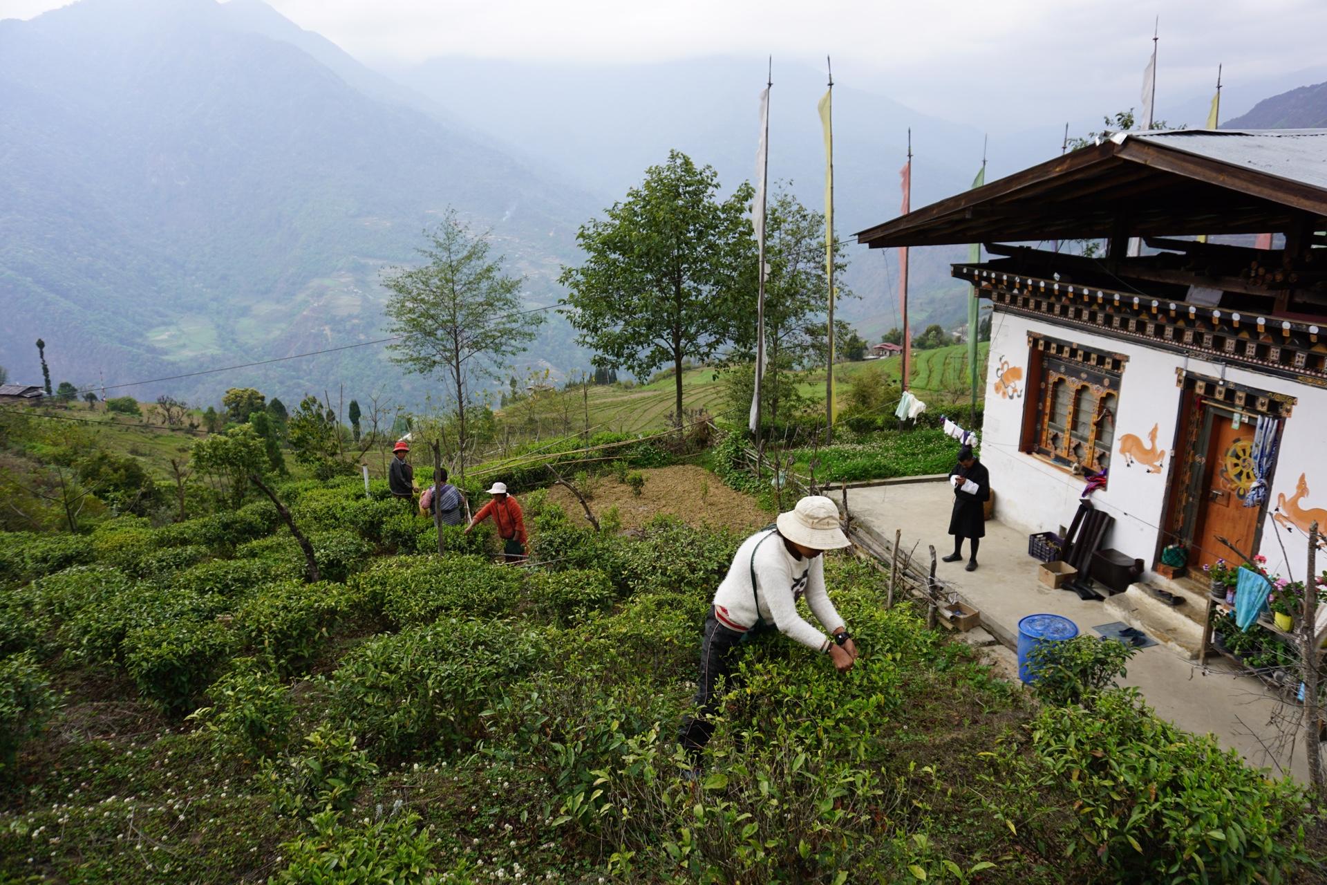 bhutan-green-tea-field.jpeg