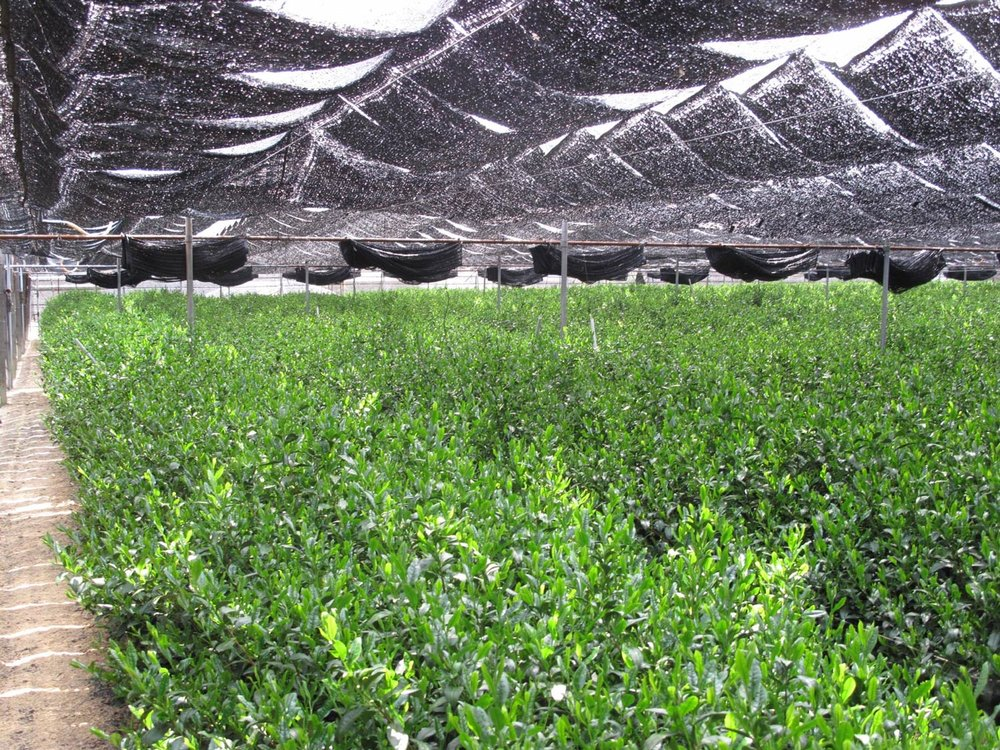 Tea bushes for matcha are shaded in the weeks leading to picking