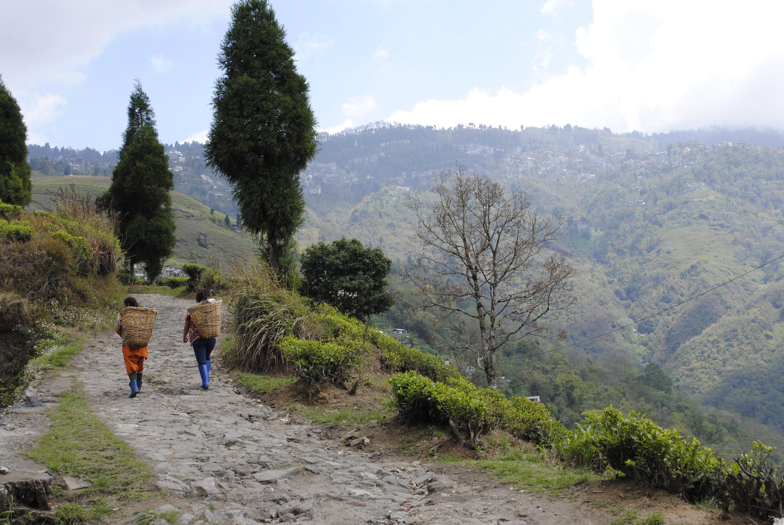 darjeeling-tea-pickers.jpg