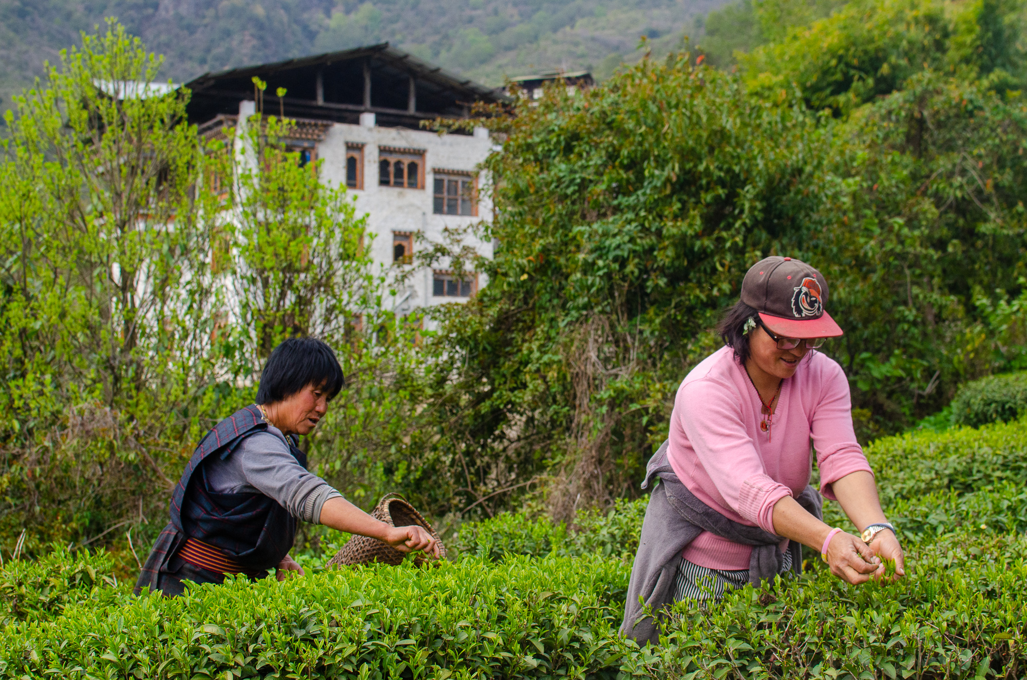 Bhutan's only tea garden and processing facility.