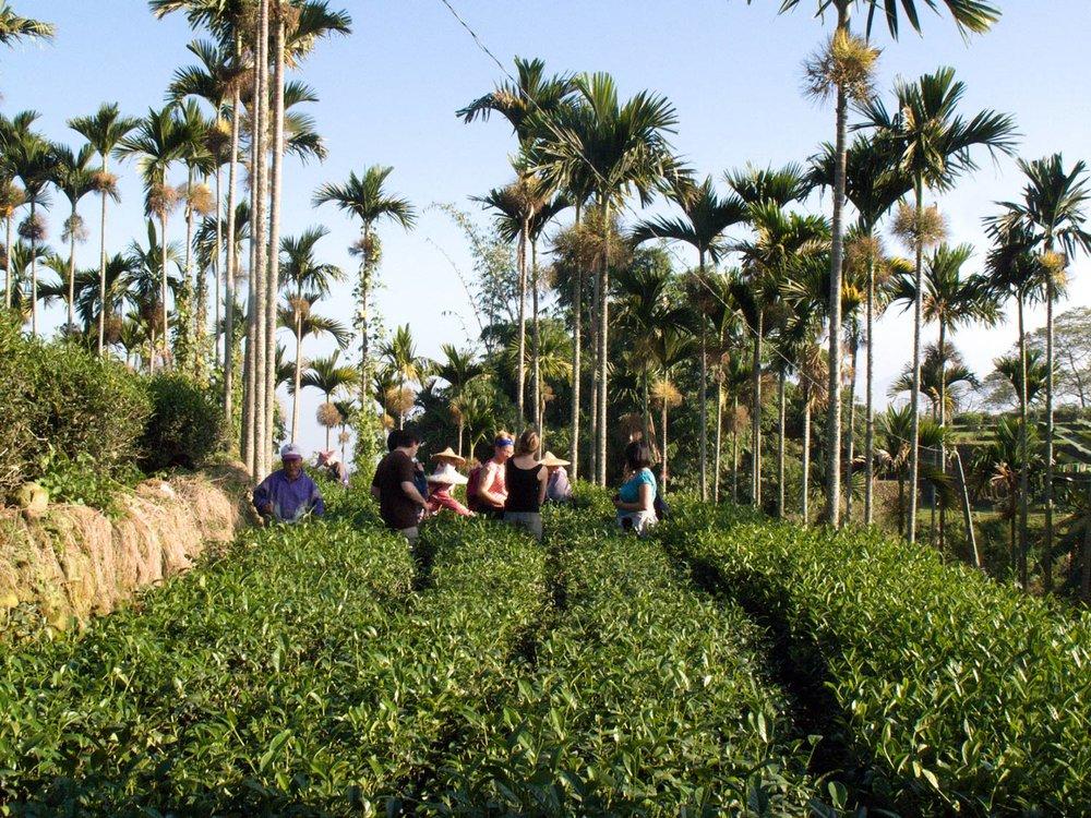 Nantou-Four-Seasons-oolong-tea-garden-1.jpg