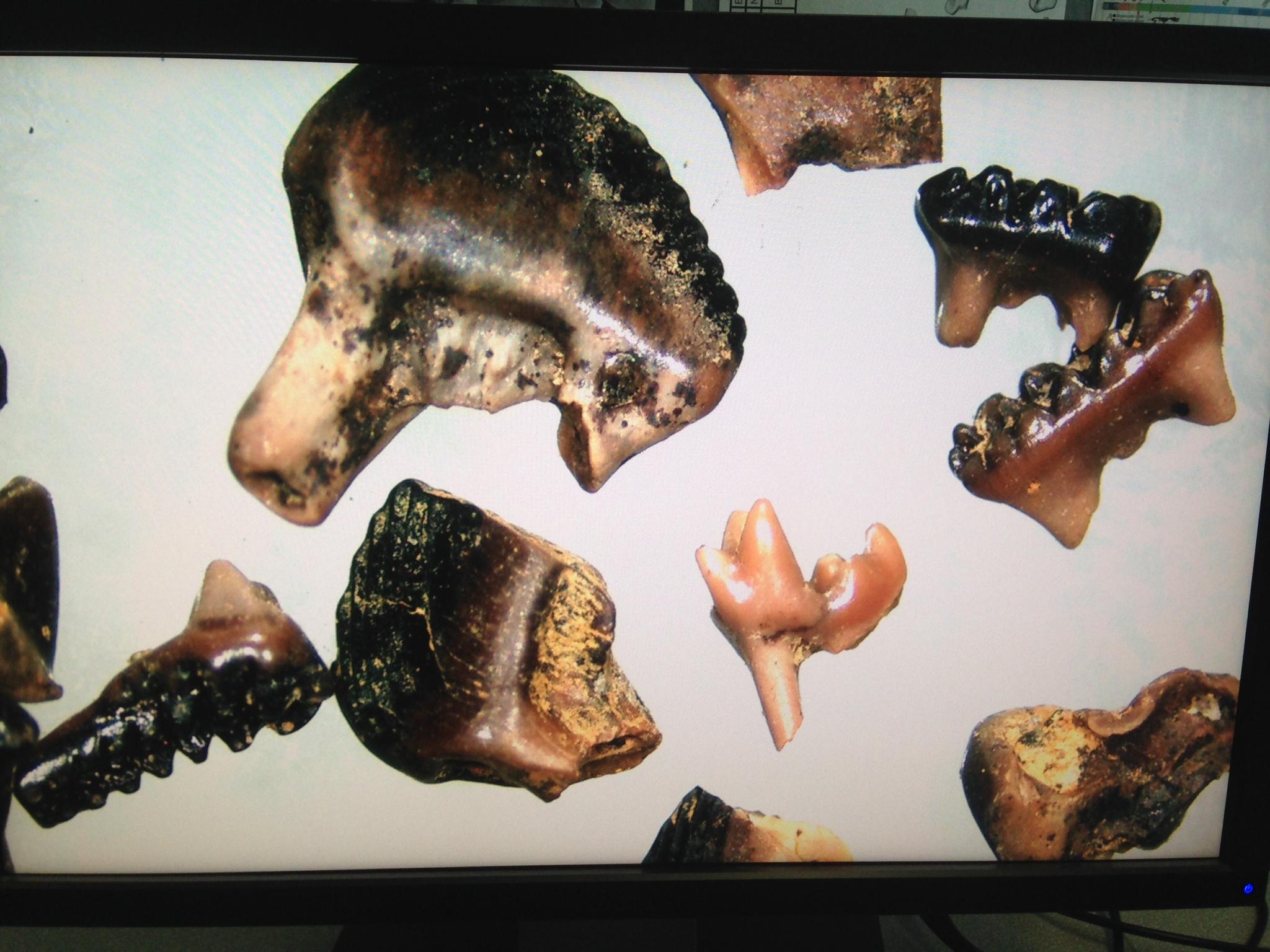 Pg mammal teeth.JPG