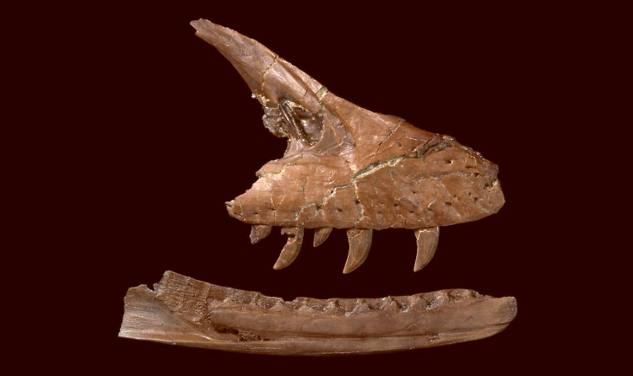 Acheroraptor jaw.jpg