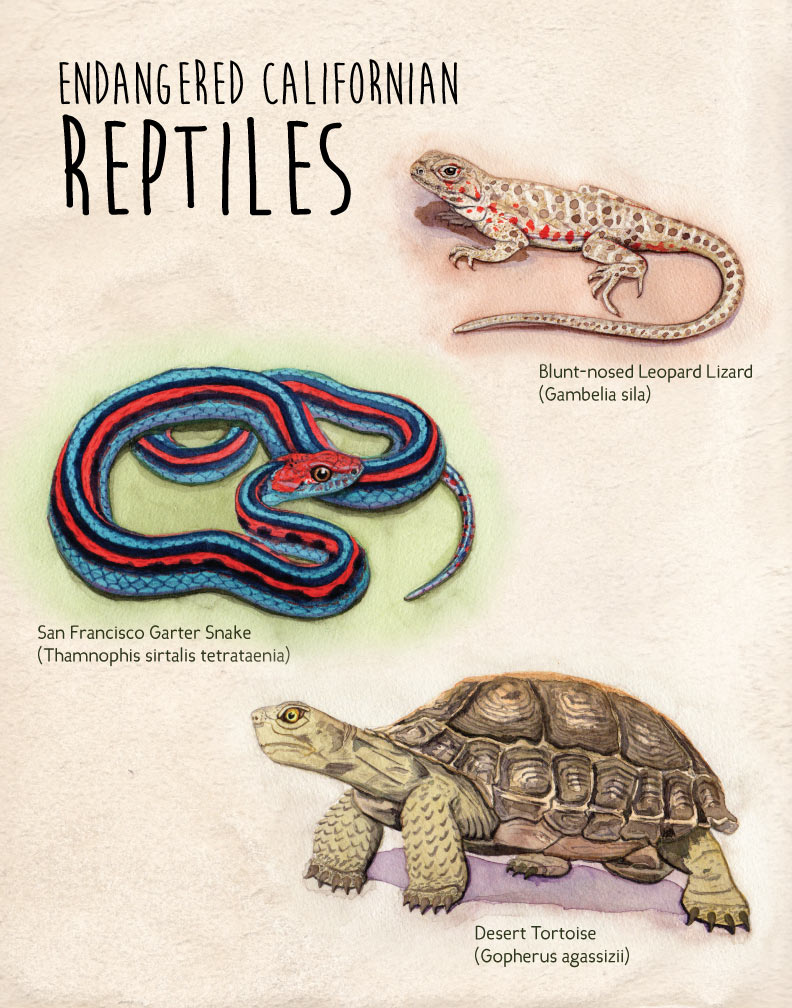 Endangered Californian Reptiles poster created with watercolor and Adobe Illustrator.