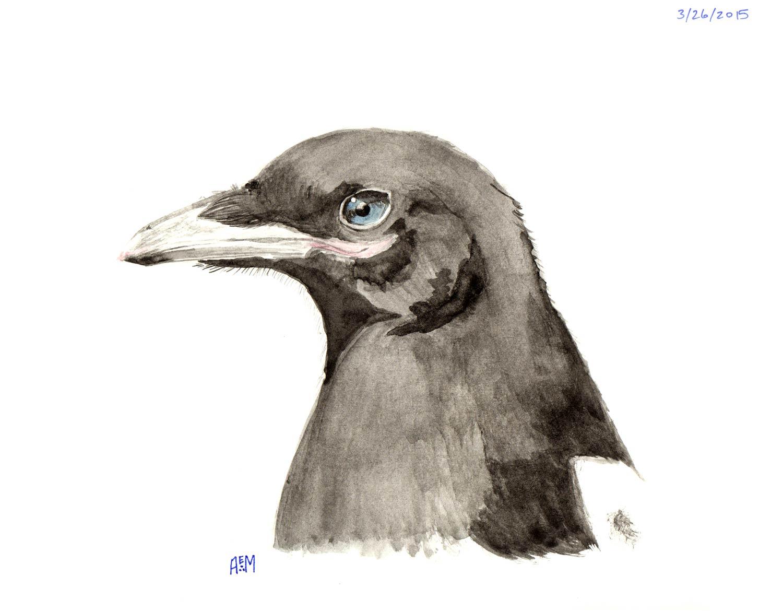 Juvenile Black-billed Magpie