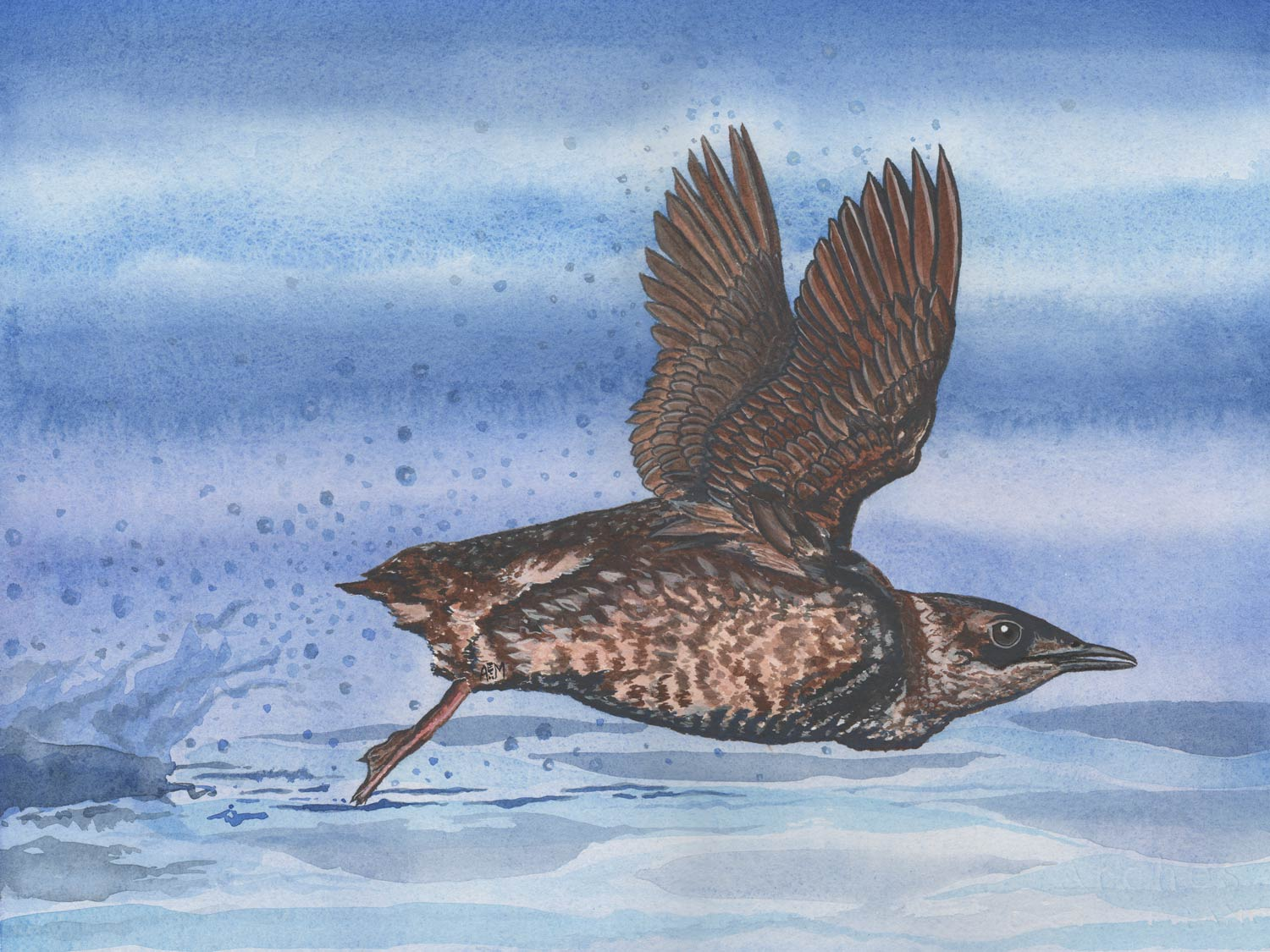 Marbled Murrelet lift off