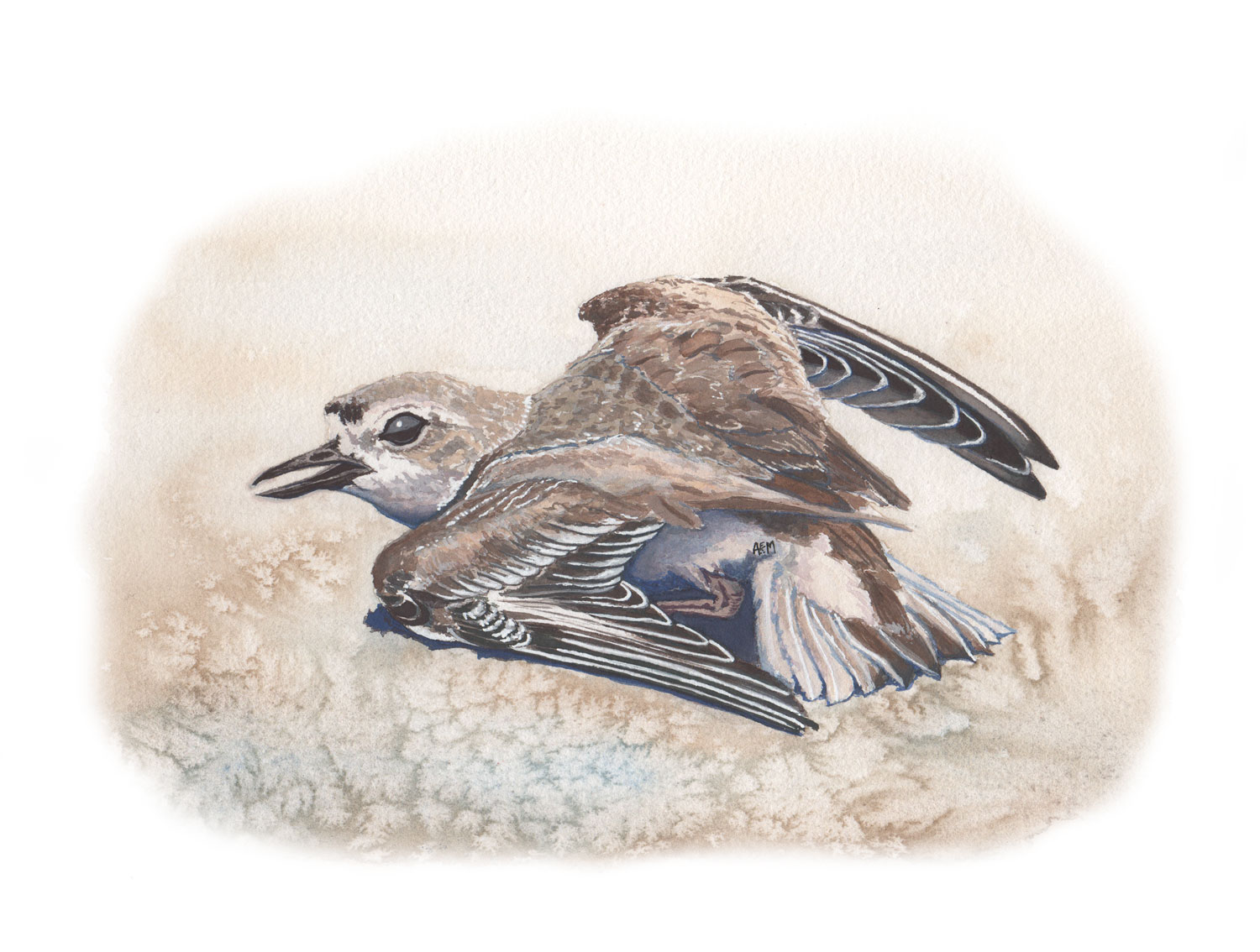 Western Snowy Plover broken wing display