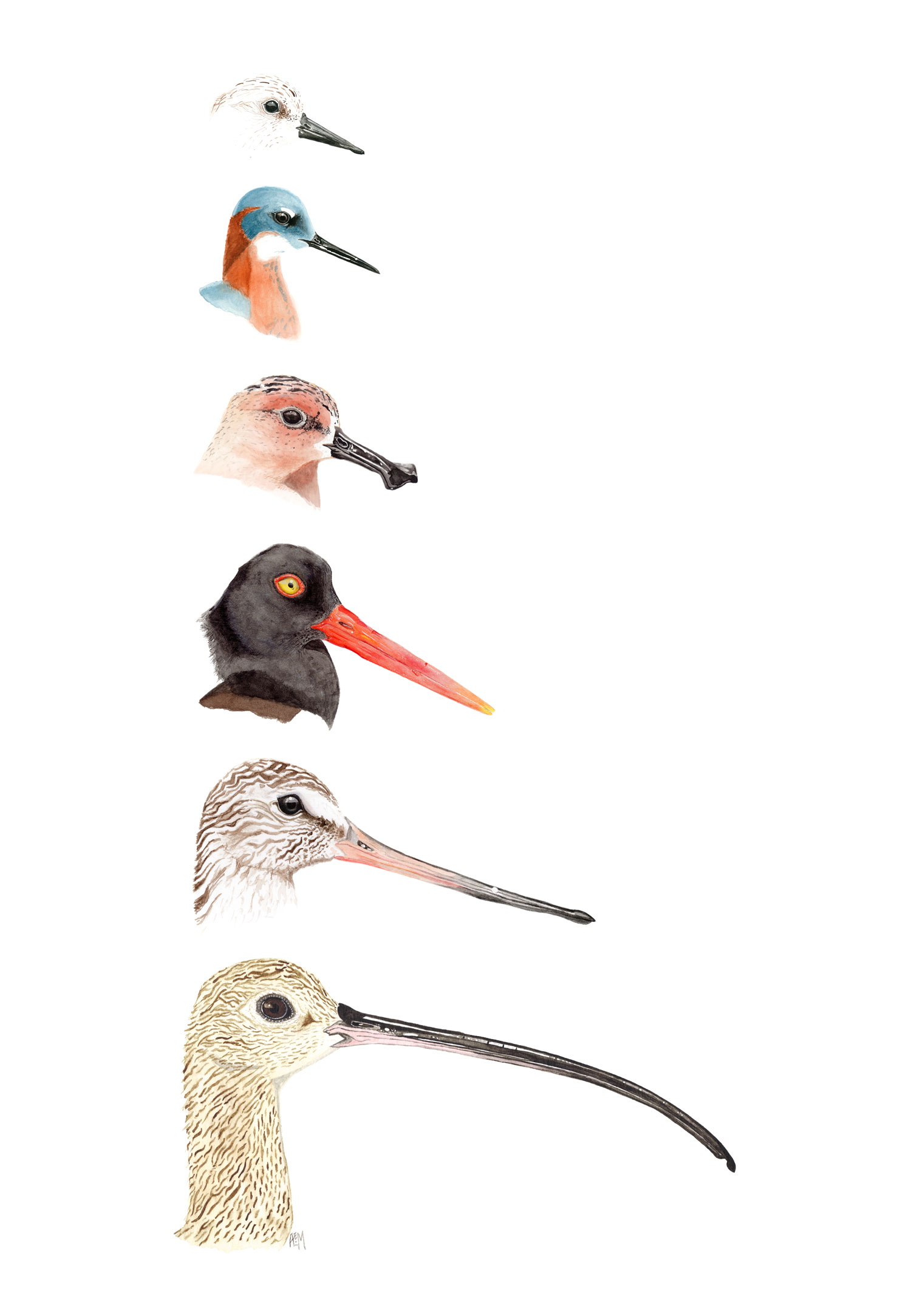 Shorebird Bill Morphology