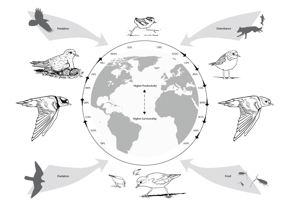 Charadrius Plover Annual Cycle Figure