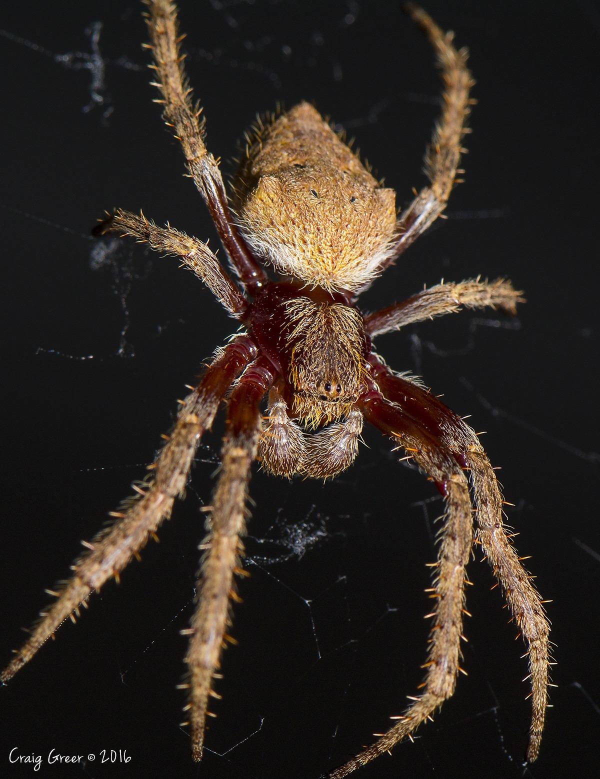 House Spider - Adelaide