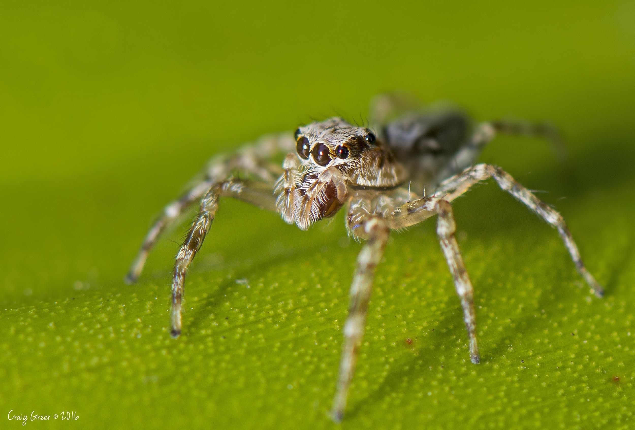 Jumping Spider - Botanic Gardens, Adelaide