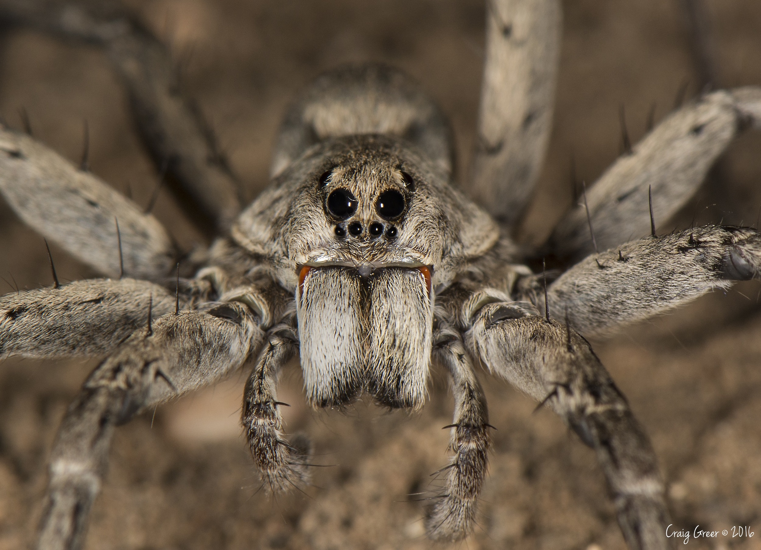Wolf-spider-Tanunda-23-03-16.jpg