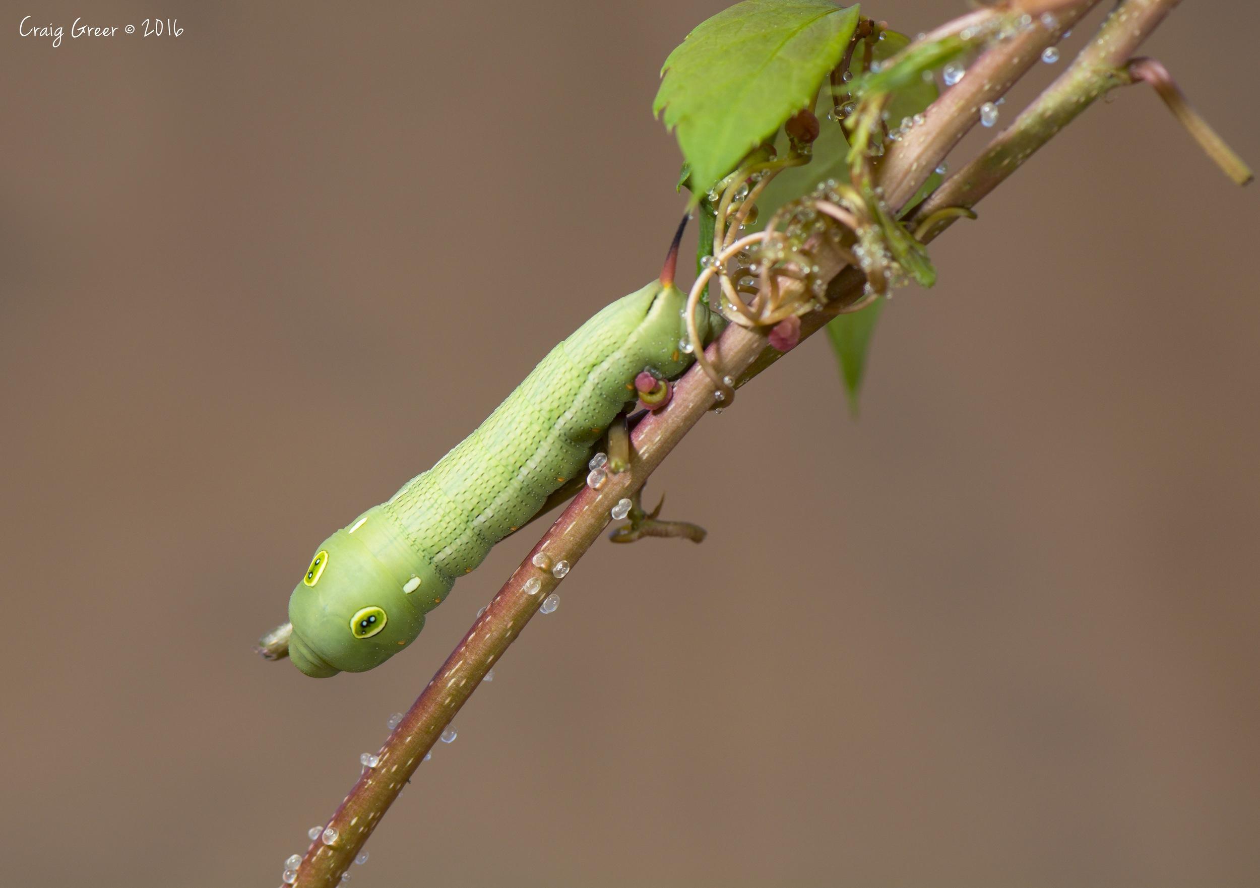 Vine-Hawkmoth-Green-Birkenhead-07-02-16.jpg