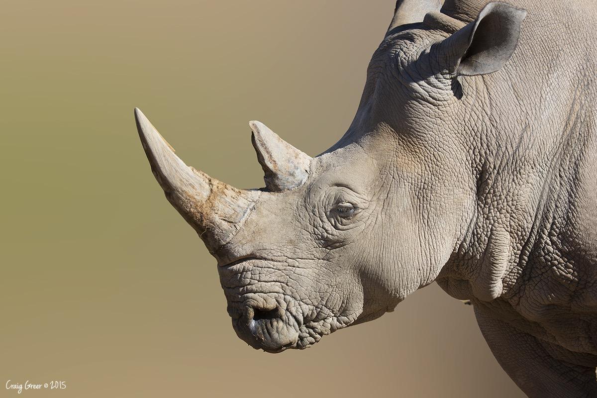 White Rhinoceros - Monarto Zoo, South Ausrtalia