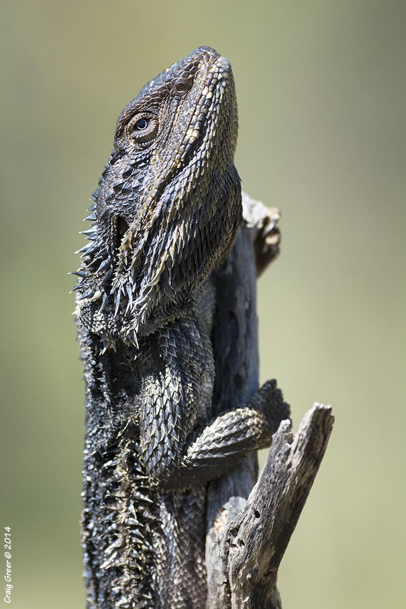 Bearded-Dragon-Tanunda-Pond-Rd-13-9-14.jpg