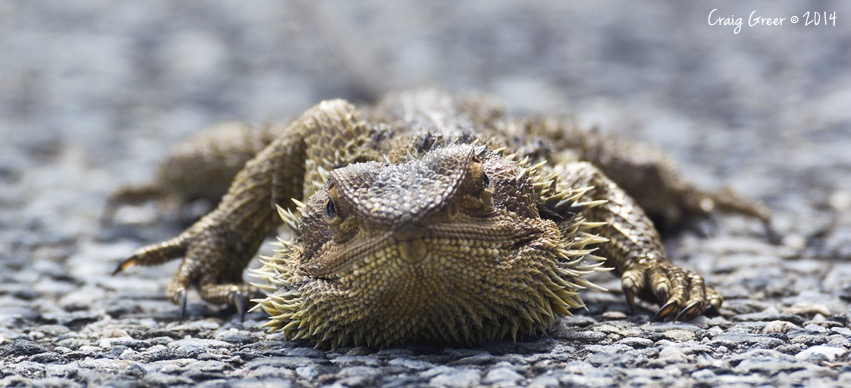 Bearded-Dragon-Wirra-Wirra copy.jpg