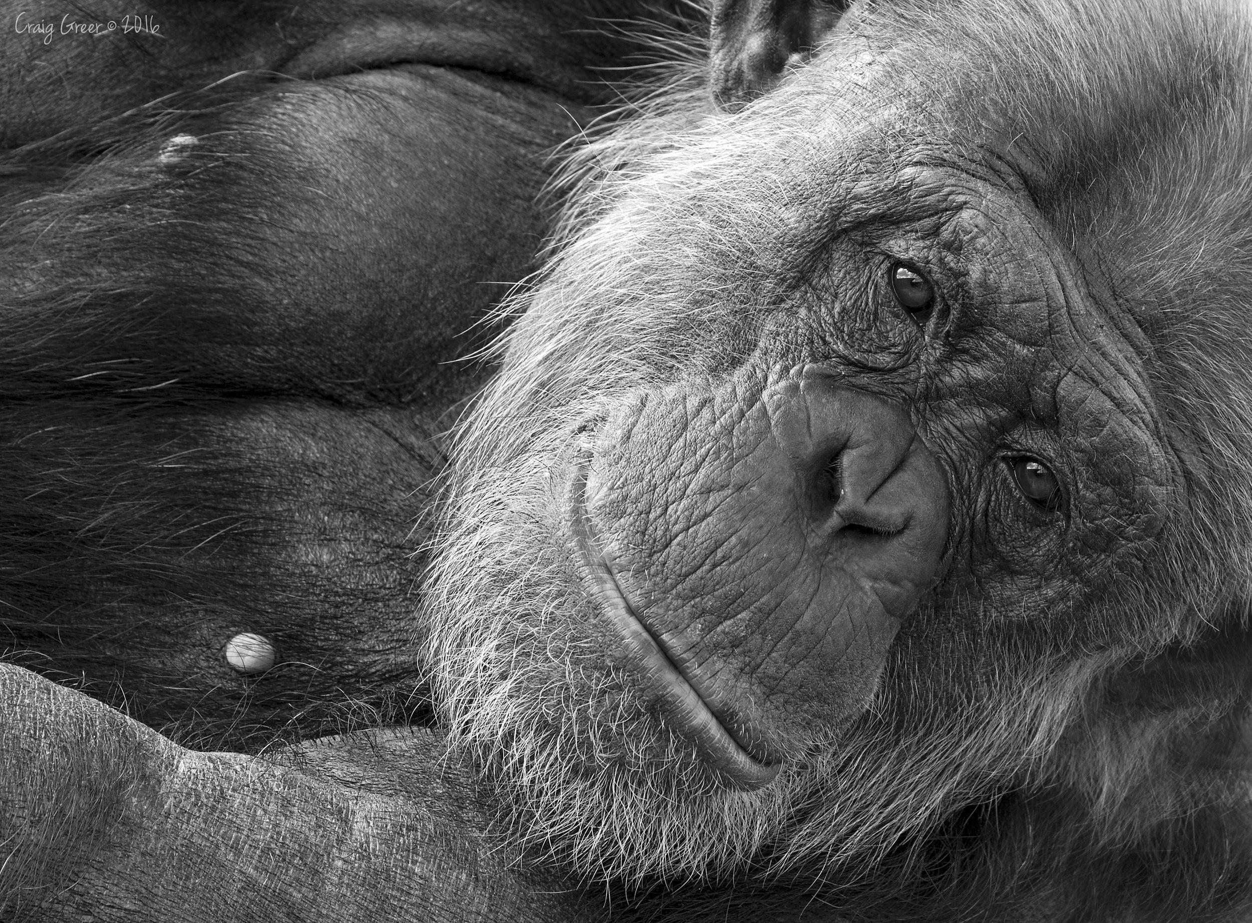 Chimpanzee-2-Monarto-Zoo-19-03-16.jpg